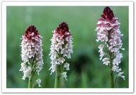 32 - Les Orchidées du Gers